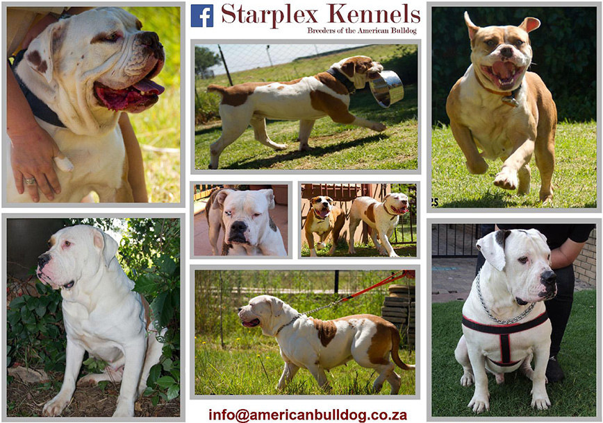 Starplex Kennels | Home of the American Bulldog in South Africa